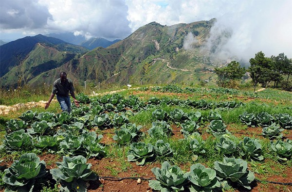 A main walks through a cabbage field with his hands splayed out as it to feature the cabbage. Large mountains and a deep valley are in the background.