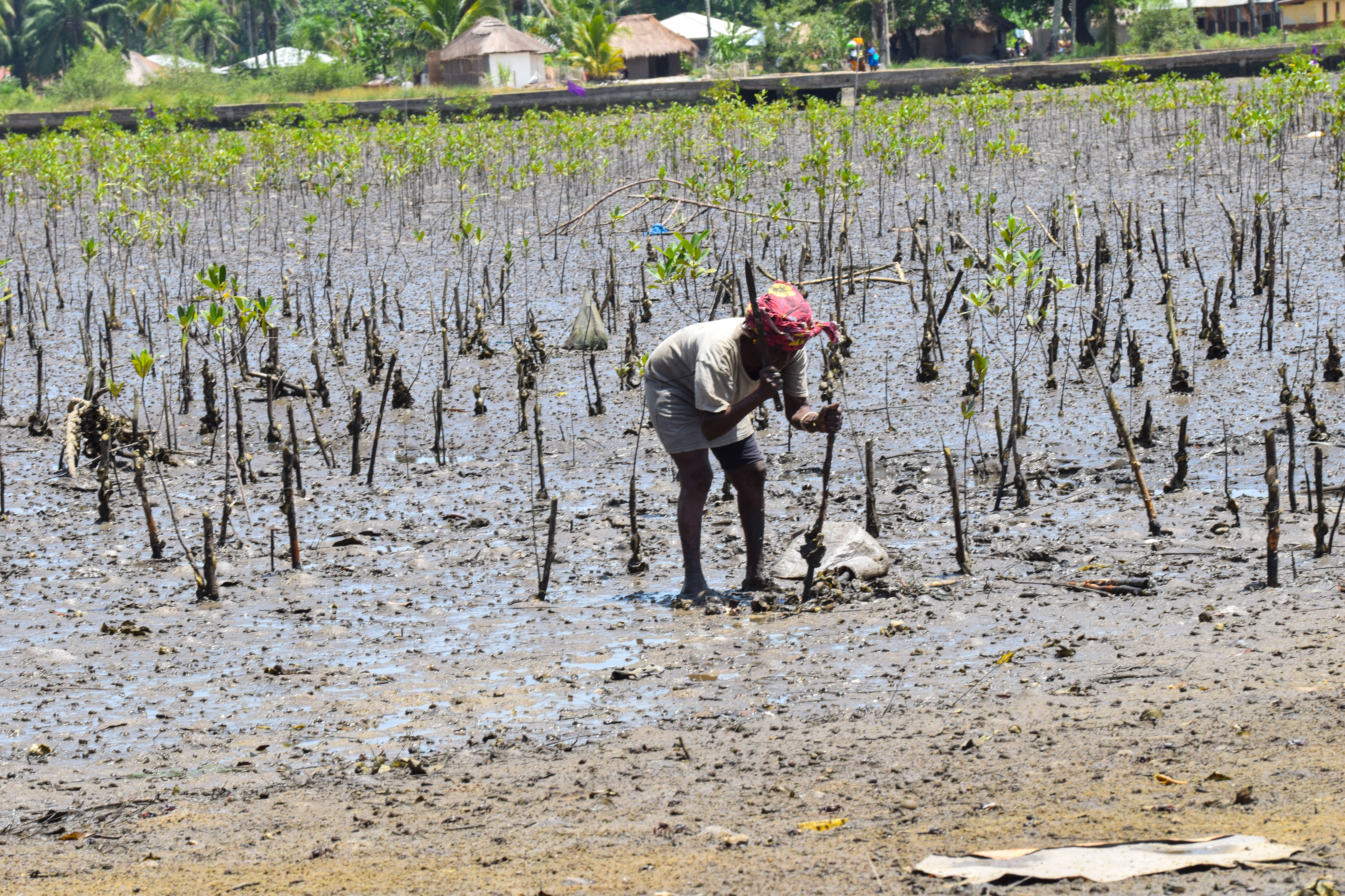 A person stands in a muddy area, planting young mangrove trees.