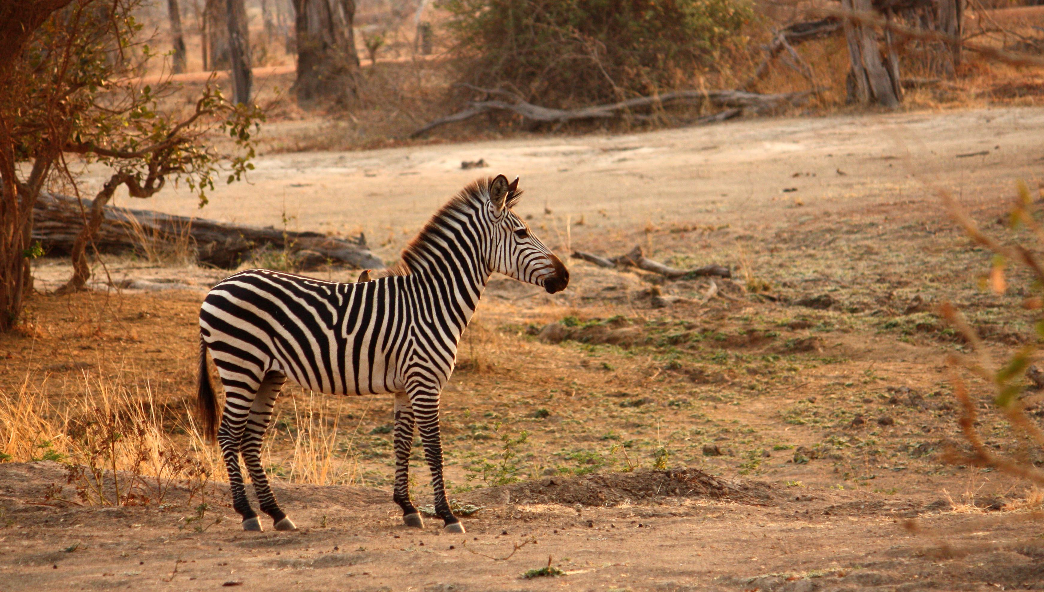 Zebra in Luangwa