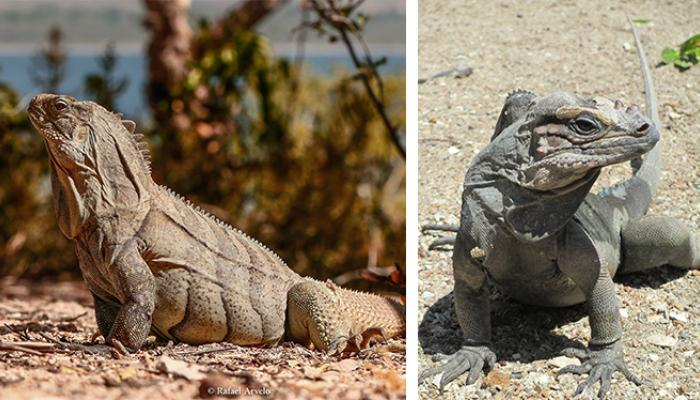 Ricord's and rhinoceros iguanas collage.