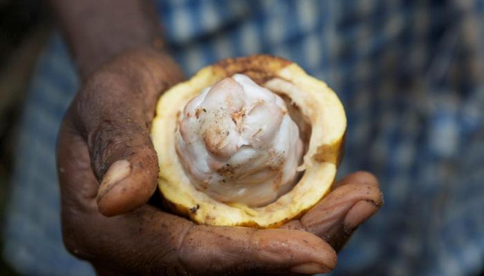 Close-up image of a hand holding a cocoa pod that has been broken open to reveal the interior.