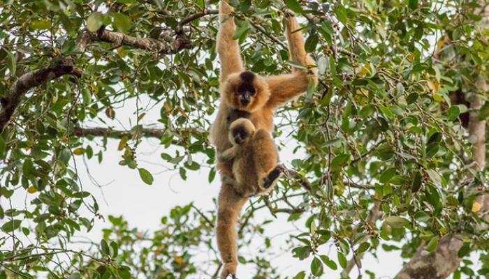 Yellow-cheeked crested gibbon
