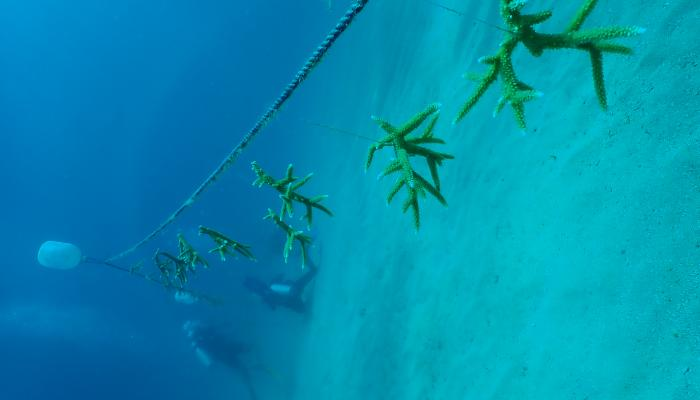Small pieces of coral hang from an underwater line.
