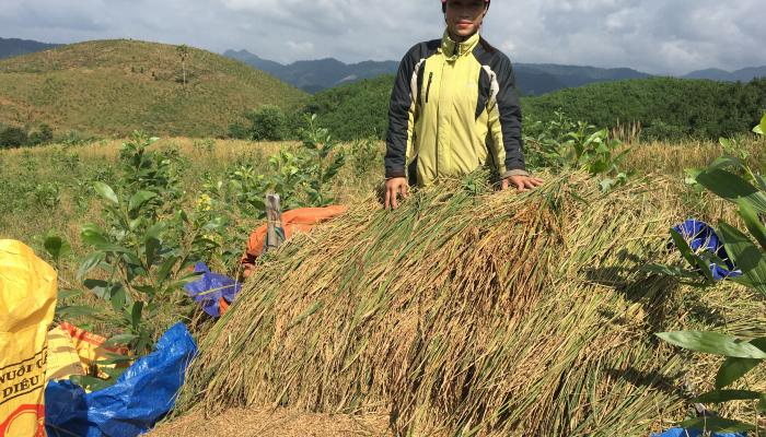 Harvesting Ra Du rice, intercropped with Acacia