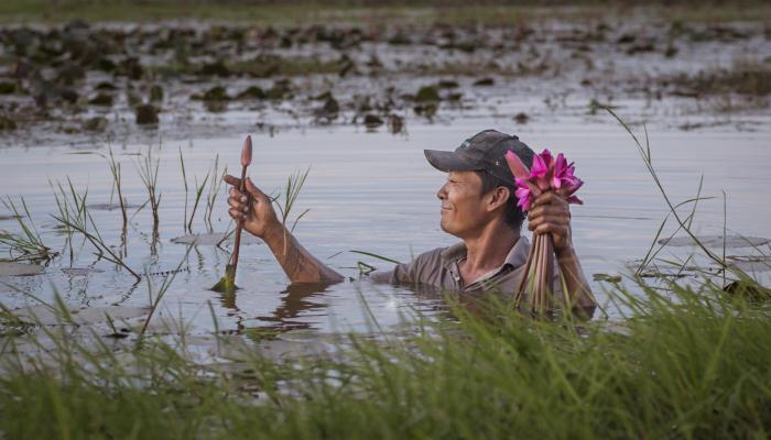 A man who is shoulder-deep in a pond pulls water lily buds from the underwater plants.
