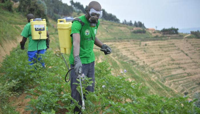 Two men wearing masks spray pesticide on to terraced crops of potato plants.