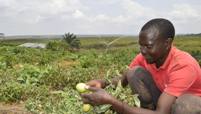 A man holds two green tomatoes while kneeling in a field. In the background irrigators spray another field and a small solar PV installation can be seen.