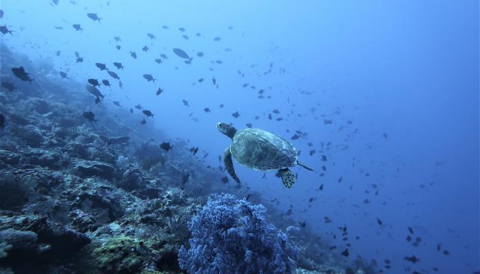 Turtles in North Maluku