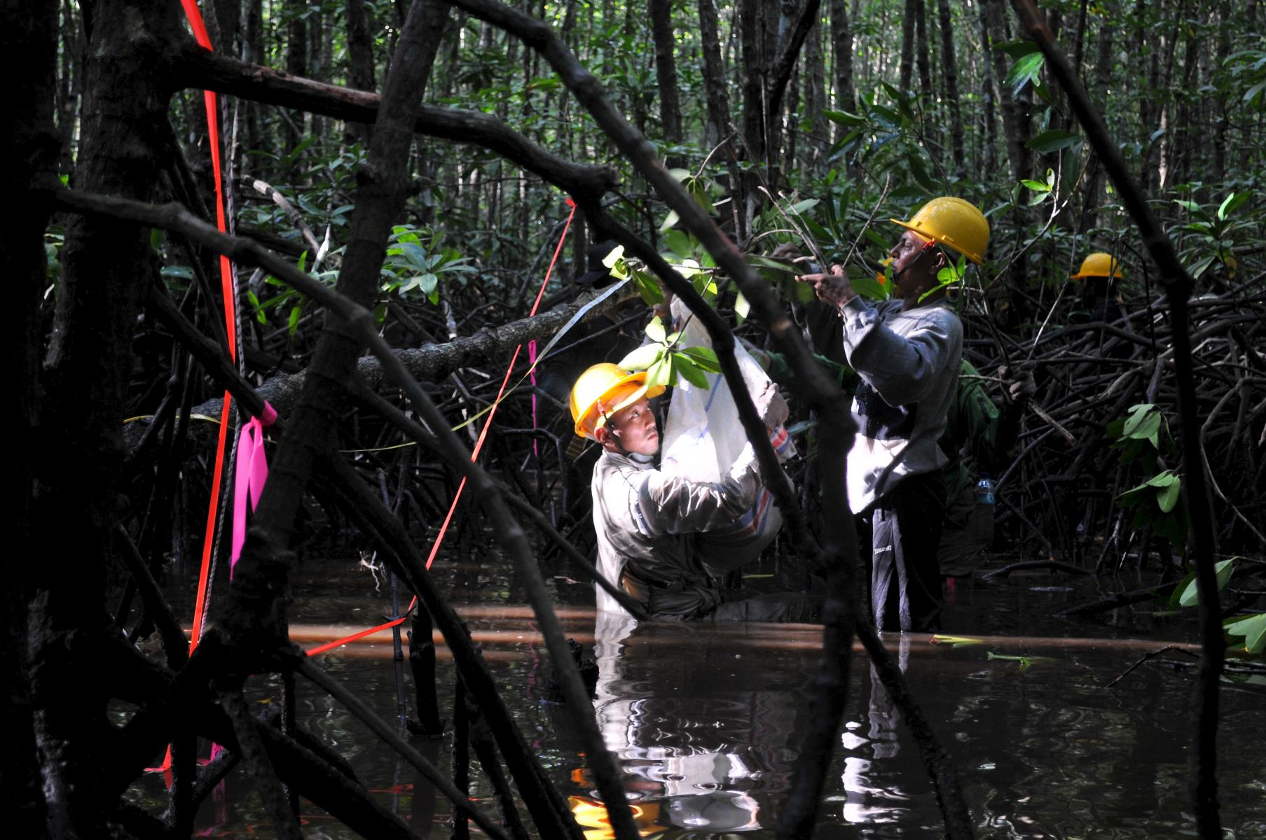 Scientists measure carbon in Indonesia's mangroves in a CIFOR study