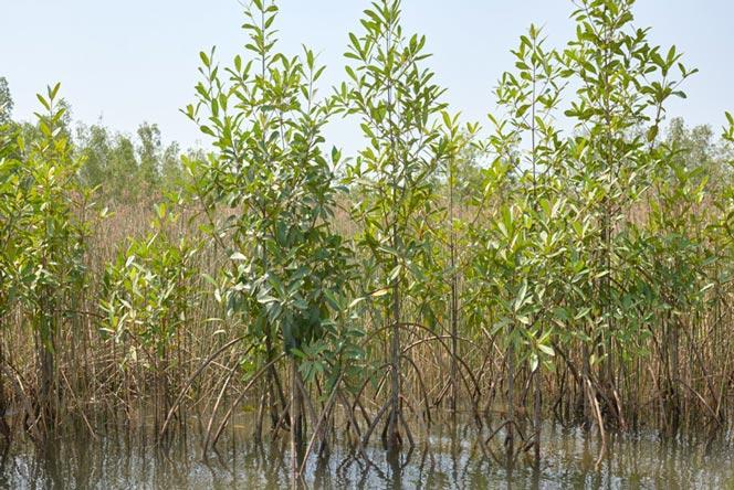 Young mangroves acting as a protective barrier.