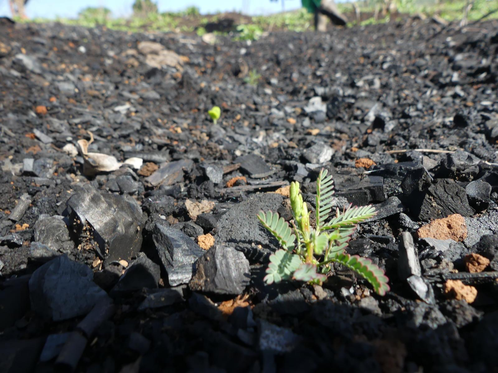 Small green seedling on a background of black charcoal chunks.