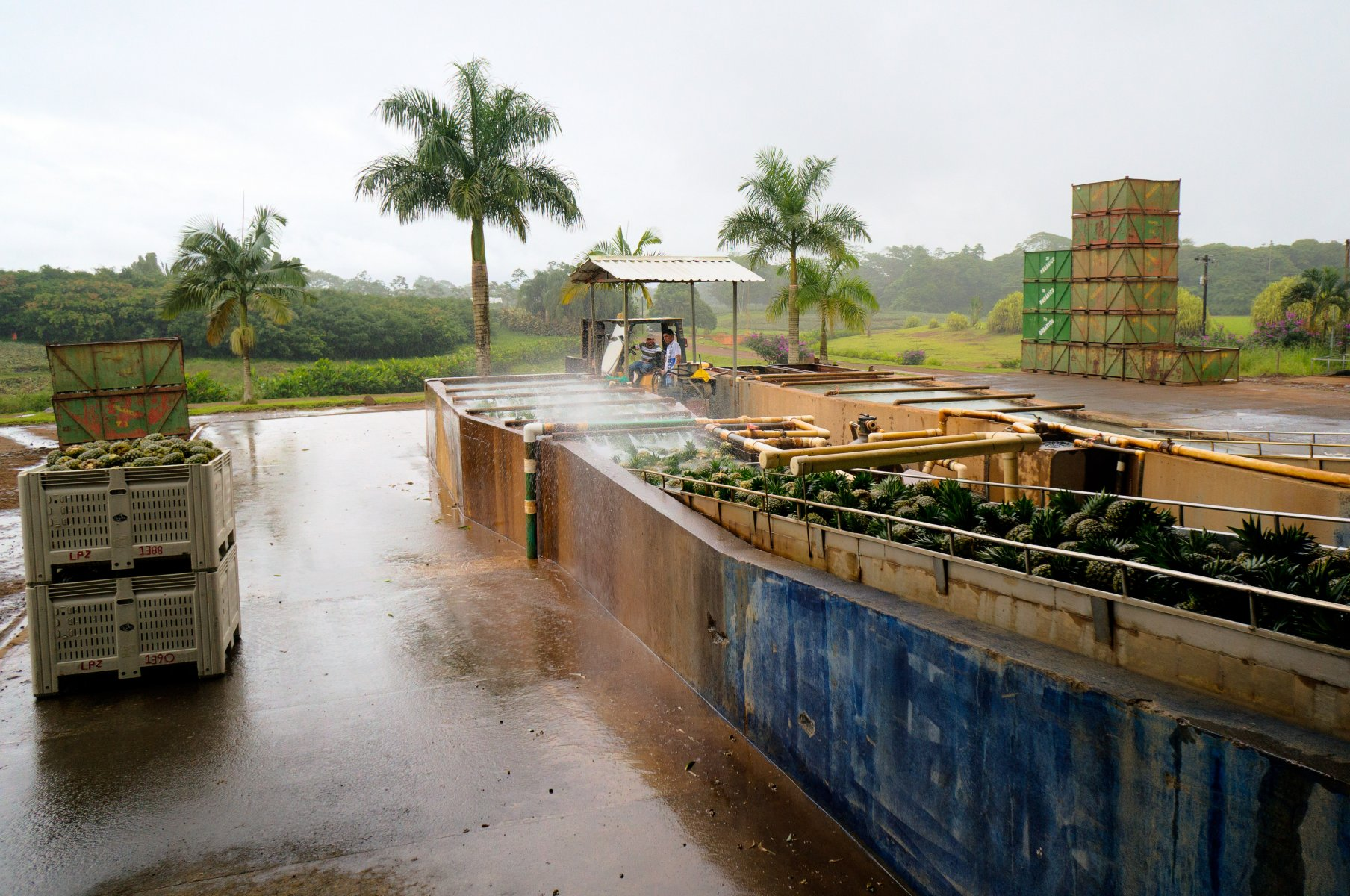 Workers spraying down fresh pineapples as they enter a processing facility.