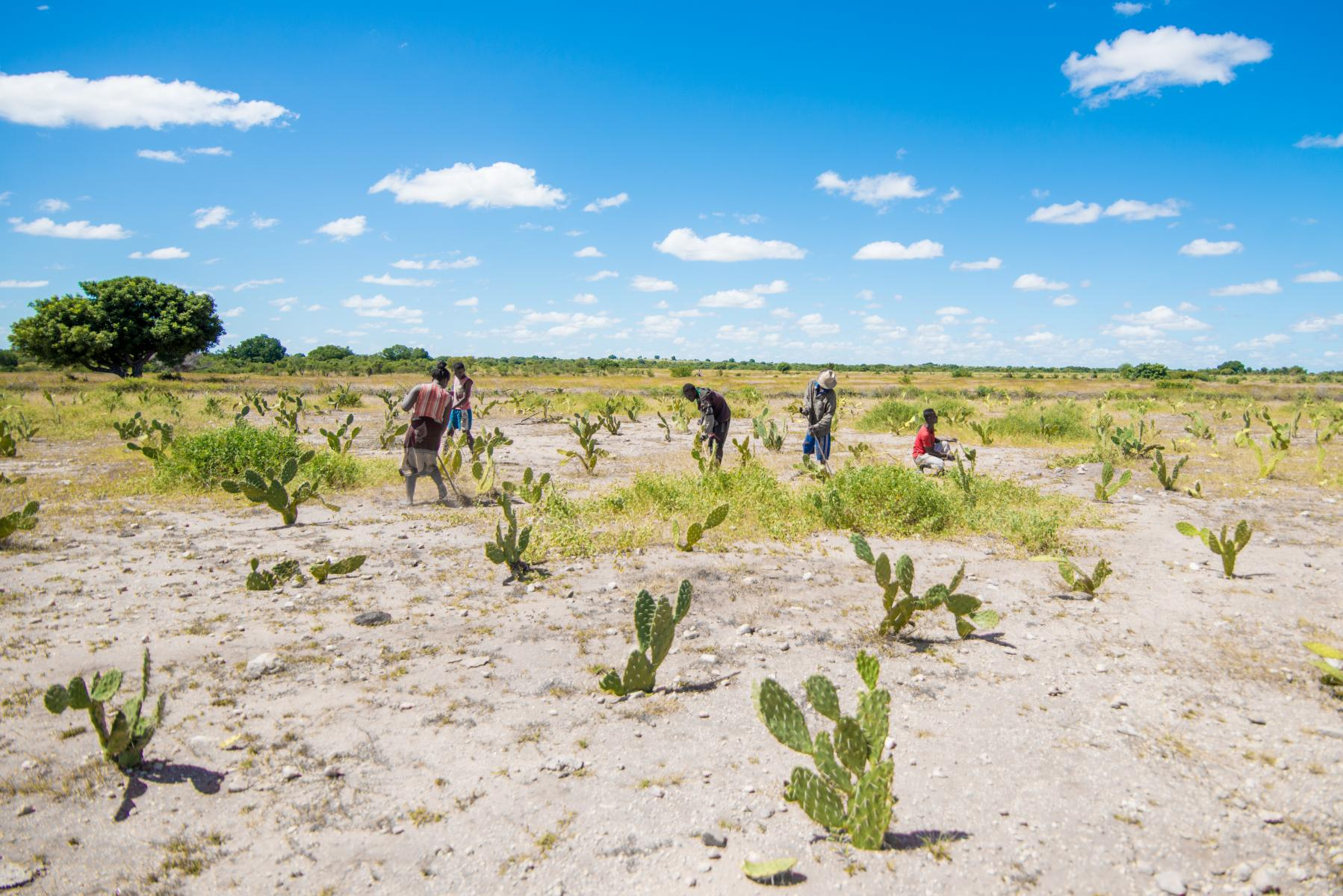 A group of people plant cactus in a large, arid field.