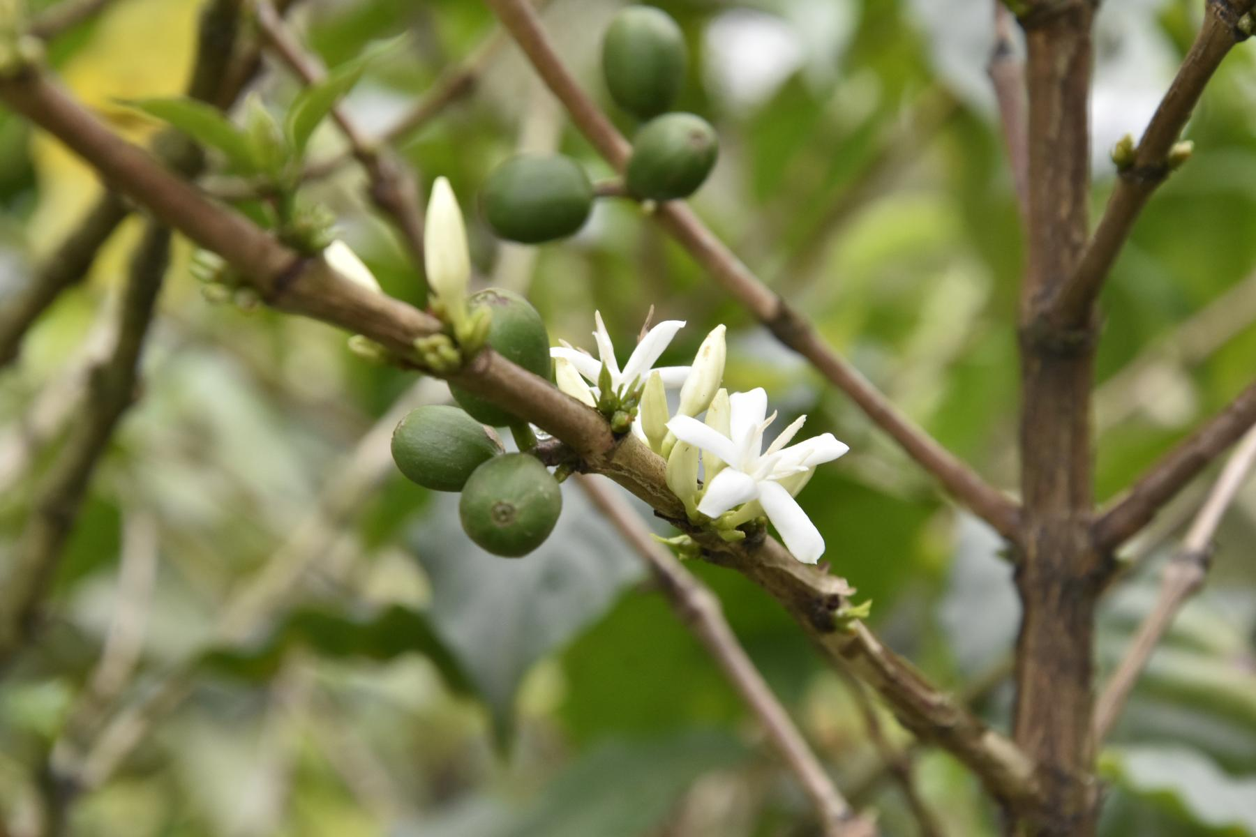Green coffee beans and white coffee flowers are seen close-up on the stem of a plant.