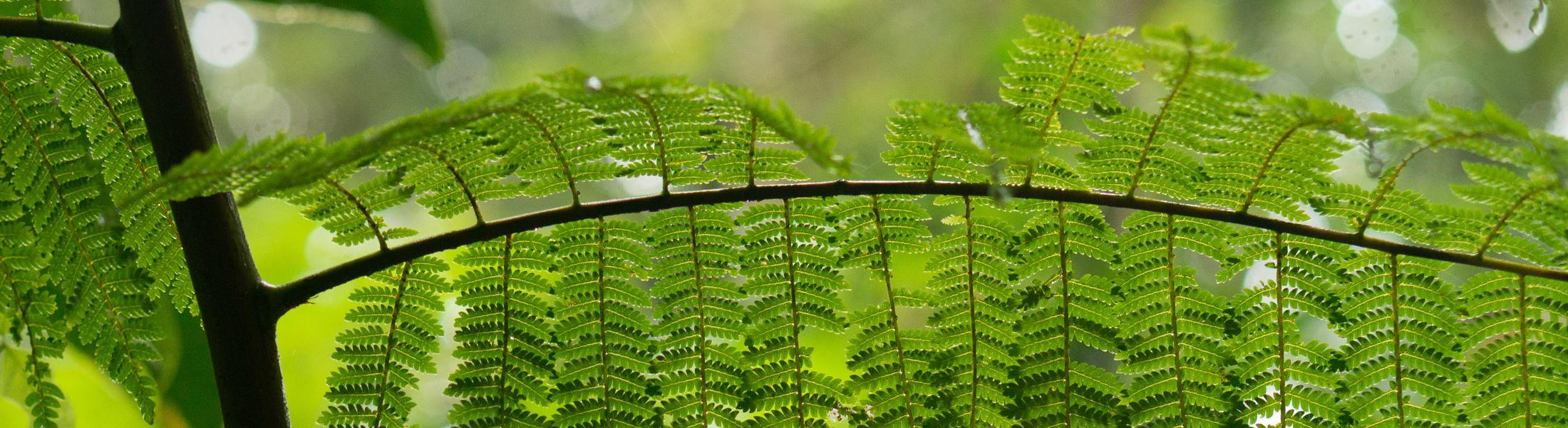 Close-up image of a delicate green fern in a cloud forest.