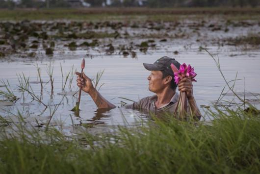 Man harvests water lilies in chest-deep water.