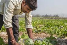 A man leans over plants in a field to harvest a squash.