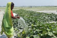 A woman in Bangladesh waters a field.