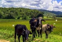 Cows look into a camera in front of verdant jungle backdrop.