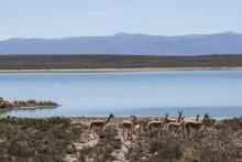 Group of llamas walk near a lake in Peruvian highlands
