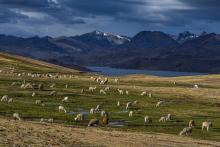 Sheep near a lake in the Peruvian highlands.