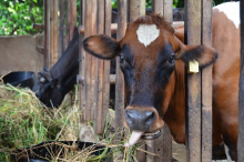 Cow eating grass and looking at camera