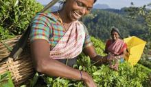 Women pick tea leaves on a hillside.
