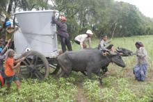 A group of people use an ox team to pull a large metal instrument.