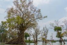 Large trees in wetland area, Prey Lang, Cambodia.