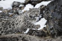 A collared snow leopard in Kangchenjunga Conservation Area, Nepal.