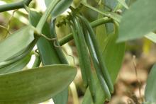 Vanilla seedpods