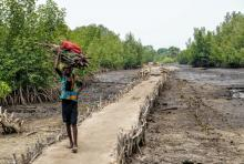 A villager carries mangrove wood along a path.