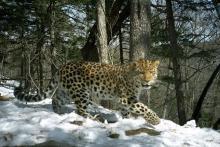 A leopard runs in front of a camera trap in Eastern Russia.