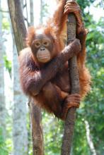 Bornean orangutan in West Kalimantan, Indonesia.