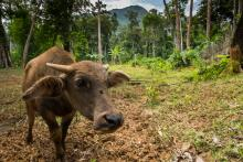 Newly cleared forest land and cow in Palawan Philippines