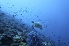 Turtles in North Maluku