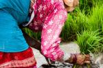 Close-up image of woman planting rice seedlings.