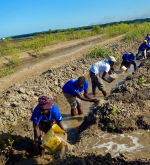 Community members water newly planted mangrove seedlings as part of USAID's Coastal City Adaptation Project in Mozambique.